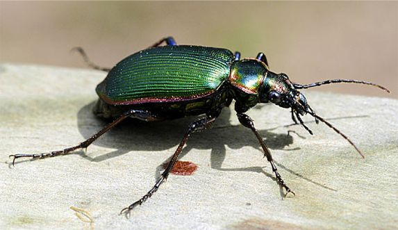 Fiery Searcher - Calosoma scrutator (Fabricius)