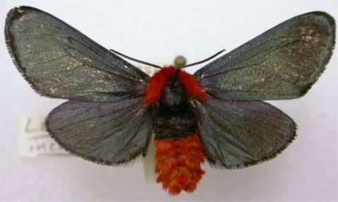 Crimson-bodied Lichen-Moth - Lerina incarnata Walker, 1854