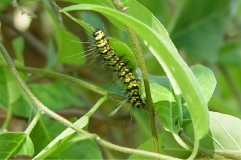 Saucy Beauty Larva