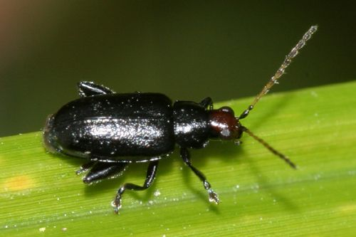 Brown-headed Flea Beetle - Systena hudsonias (Förster)