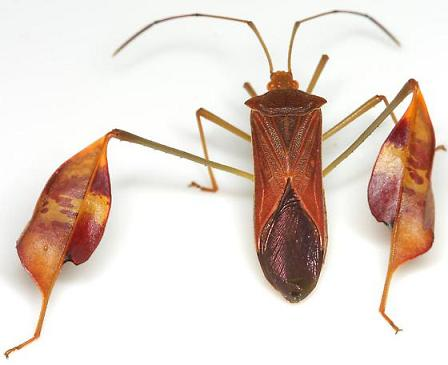 Affinis Leaf-footed Bug - Anisoscelis affinis