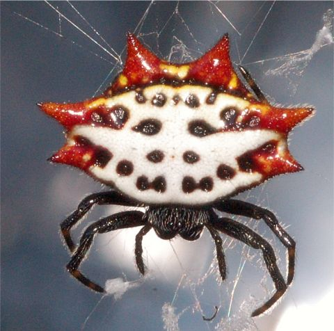 Spiny-backed Orbweaver - Gasteracantha cancriformis