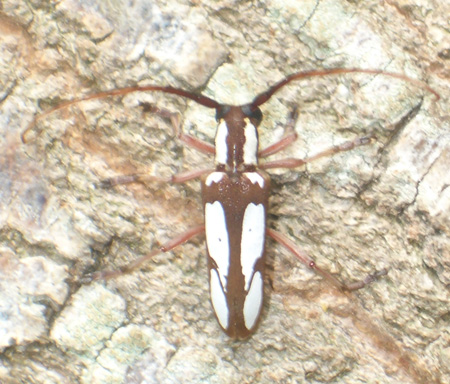 Spotted Apple Tree Borer - Saperda cretata Newman