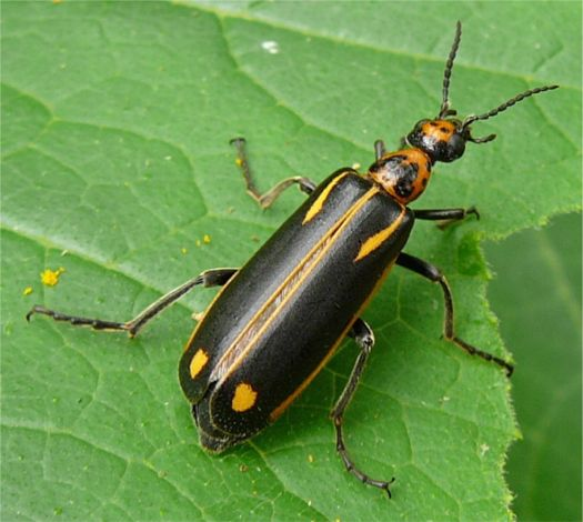 Yellow-crescent Blister Beetle - Pyrota insulata (LeConte 1858)