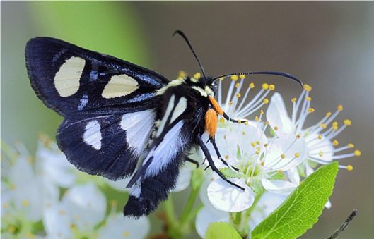 Eight-spotted Forester - Alypia octomaculata (Fabricius, 1775)