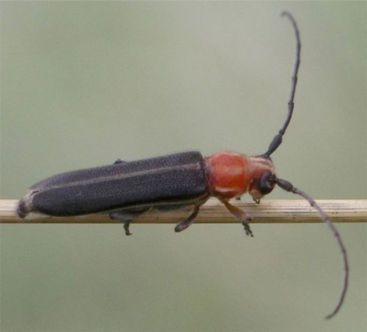 Firefly-mimicking Longhorn - Mecas rotundicollis Thomson, 1868