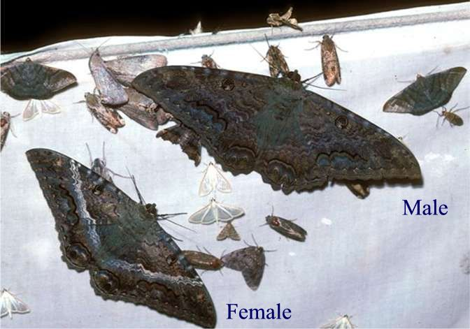 Black Witch Moth - Male and Female